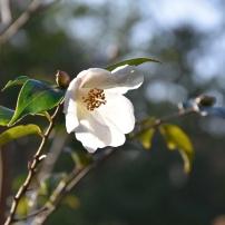 Camellia Cornish Snow
