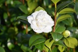 Camellia japonica Noblissima