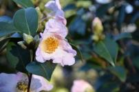 Camellia JC WIlliams
