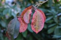 Euonymus grandiflorus