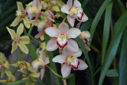 Cymbidium Loch of Monteith
