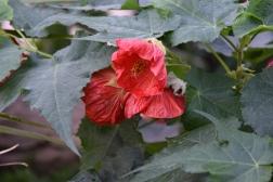 Abutilon Ashford Red