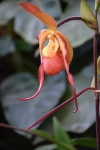 Phragmipedium Quetivel Mill