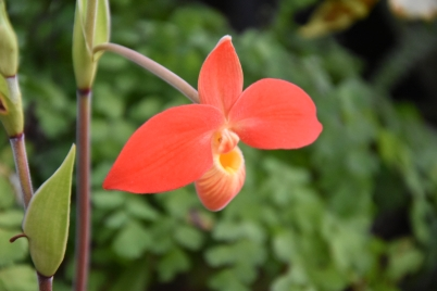 Phragmipedium besseae var dallesandroi x besseae Mont Millais