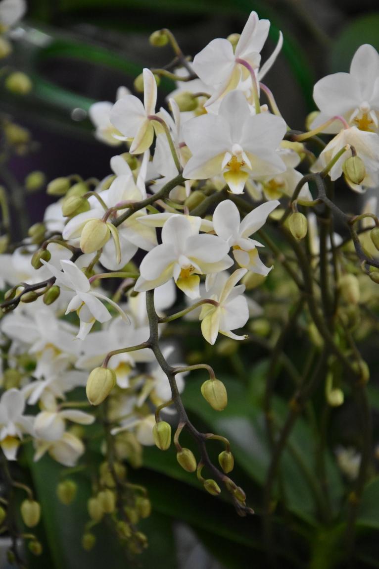 Phaleaenopsis