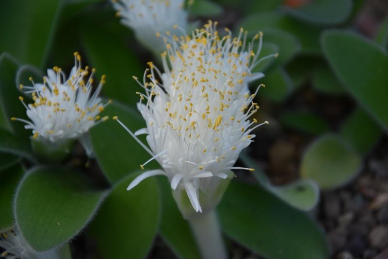 Haemanthus pauculiifolius