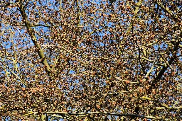 Parrrotia persica