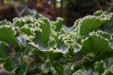 Brassica oleracea Creme Chantilly