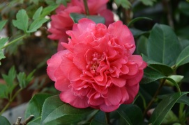 Camellia Anticipation