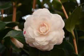 Camellia April Dawn