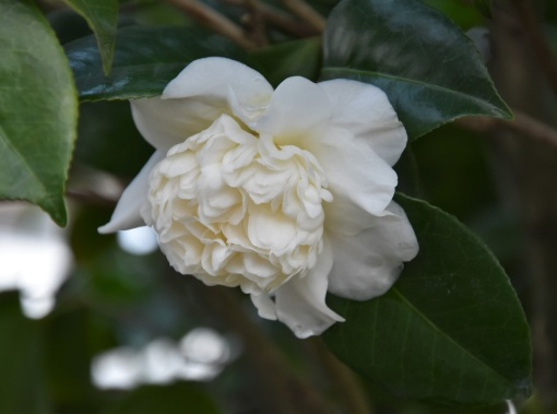 Camellia bonomiana
