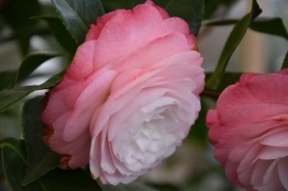 Camellia Desire
