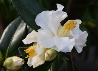 Camellia White Swan