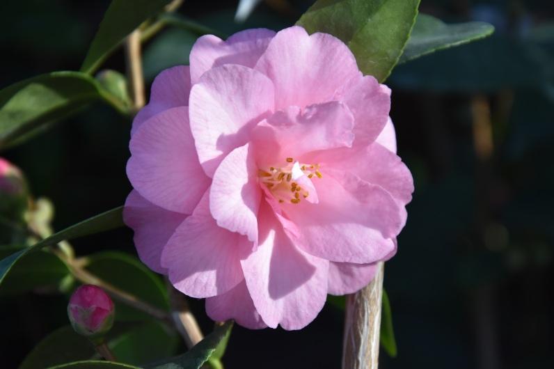 Camellia japonica Spring Symphony