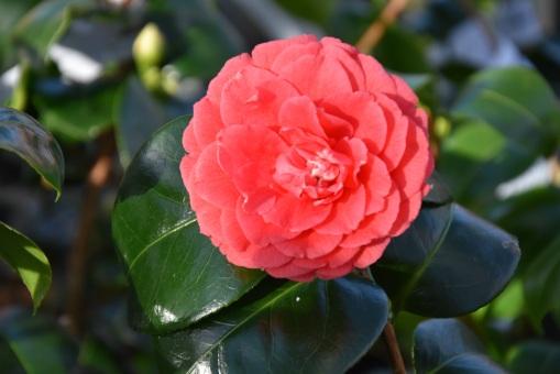 Camellia japonica Coquetti