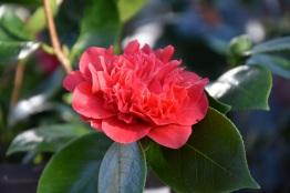 Camellia japonica Elizabeth Hawkins