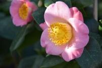 Camellia japonica Furo-an