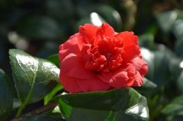 Camellia rusticana Beni-arajishi