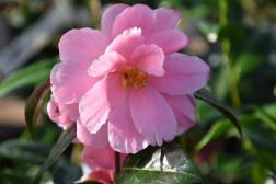Camellia x williamsii Donation