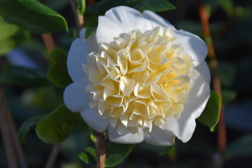 Camellia x williamsii Jury's Yellow