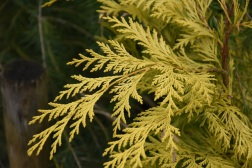 Chamaecyparis lawsoniana Golden Wonder
