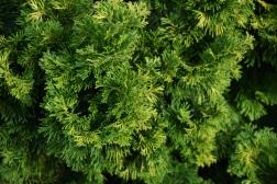 Chamaecyparis obtusa Verdonii