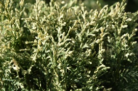 Chamaecyparis lawsoniana Pearly Swirls