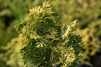 Chamaecyparis obtusa Nana Lutea