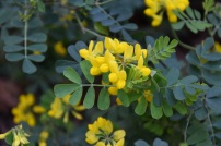 Coronilla Brockhill Blue