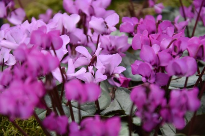 Cyclamen coum Pewter Group