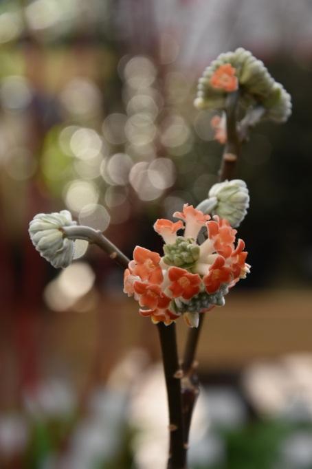 Edgworthia chysantha Red Dragon