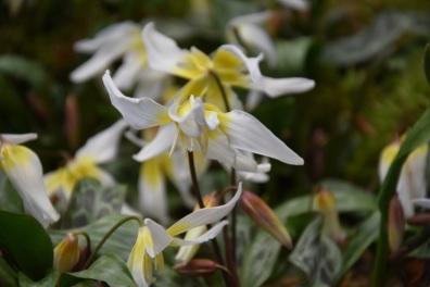 Erythronium cliftonii