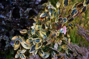 Euonymus japonicus Emerald 'n' Gold