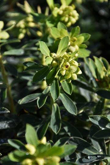 Euphorbia Despina