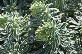 Euphorbia Glacier Blue