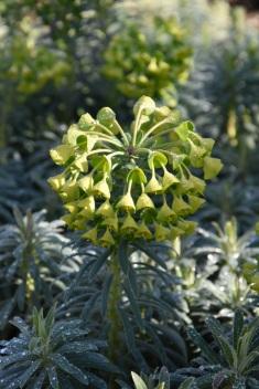 Euphorbia Shorty