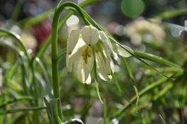 Fritillaria meleagris White form