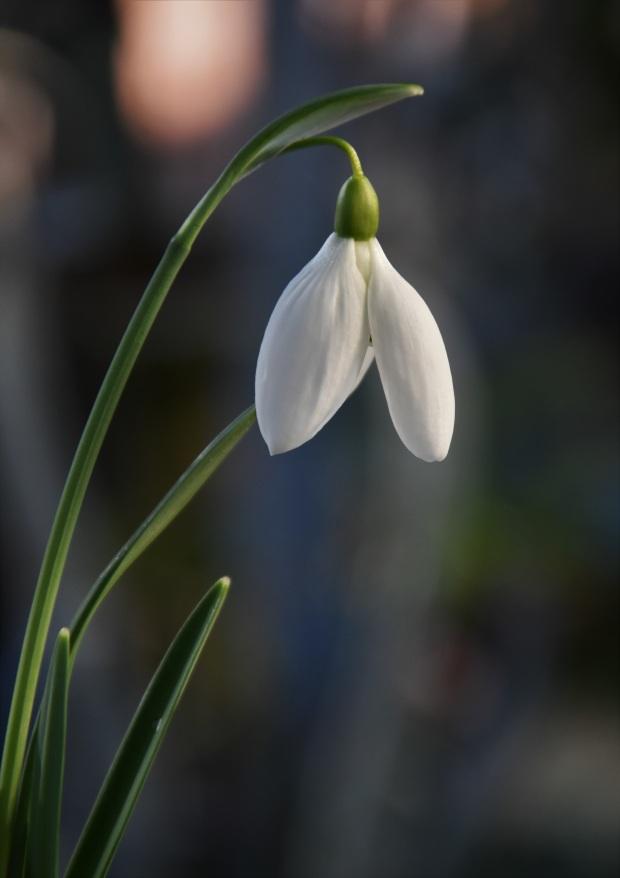 Galanthus Betram Anderson 1