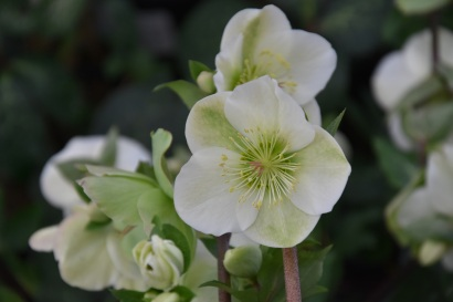 Hellebore Molly's White