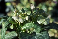 Hellebore Purple Ear