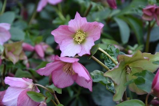 Hellebore Walburton's Rosemary