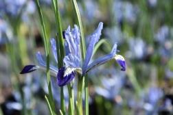 Iris reticulata Clairette