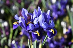 Iris Rhapsody