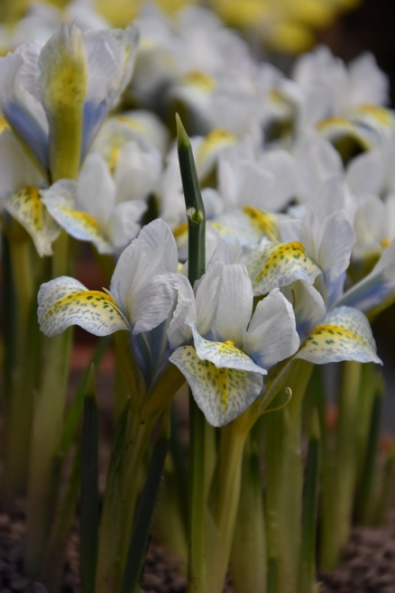 Iris 98-GP-5