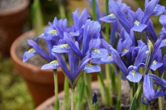 Iris Beautiful Day