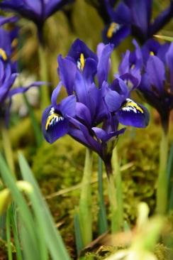 Iris Blue Note