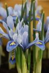 Iris Cantab