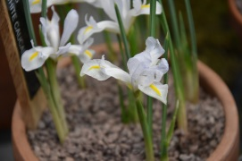 Iris caucasus