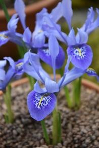 Iris Reine Immaculata