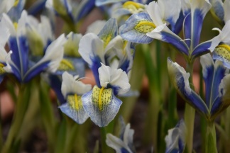 Iris Sea Breeze
